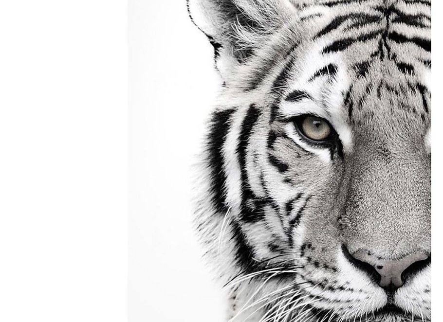 tiger .jpg