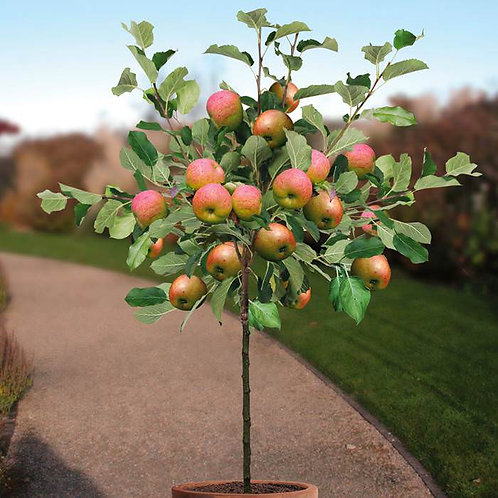 Apple Trees - Different Varieties Available