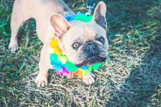 french bulldog hulla collar