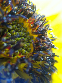 Macro Sunflower before Seeding