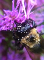 Macro Pollen on Bee