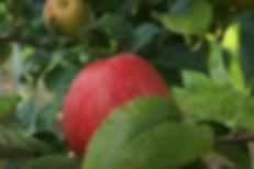 Premier Honeycrisp Apple