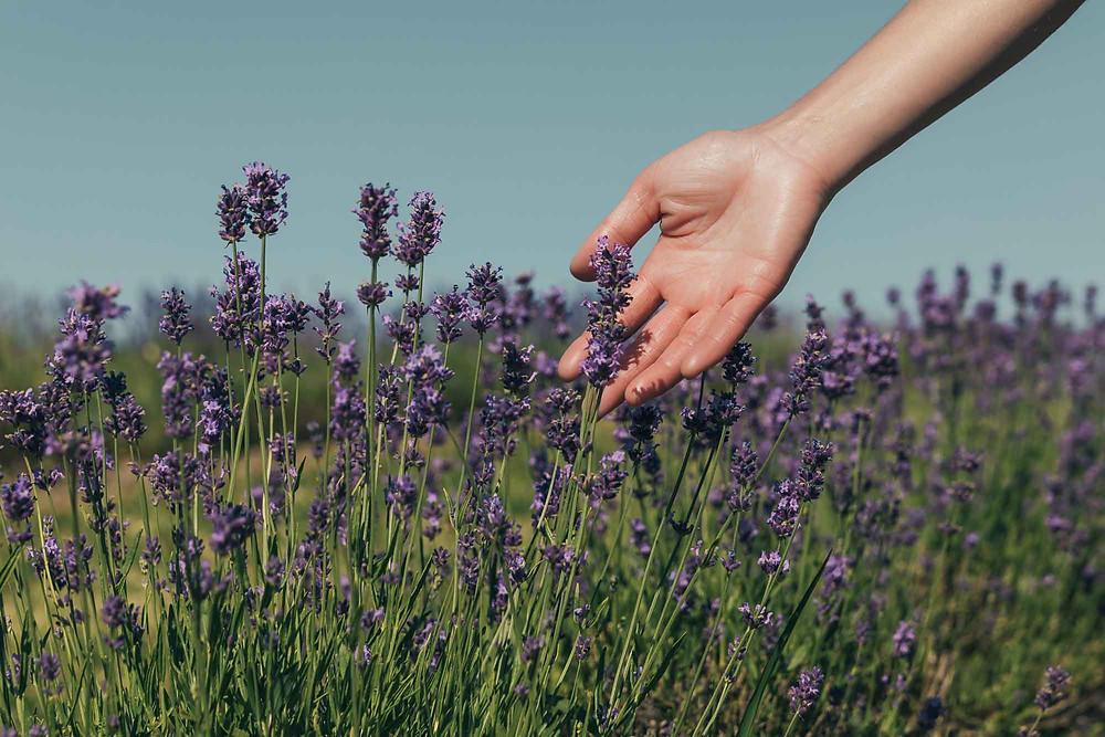 lavande-fleur-fleuriste-eco-responsable_clairefeuilleciseaux