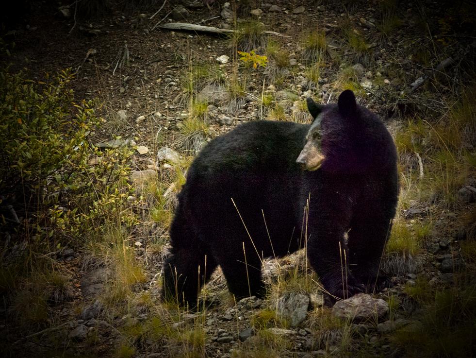 Bear-outside-Jasper.png