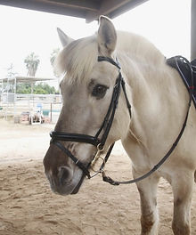Olt, A Norwegian Fjord therapy horse