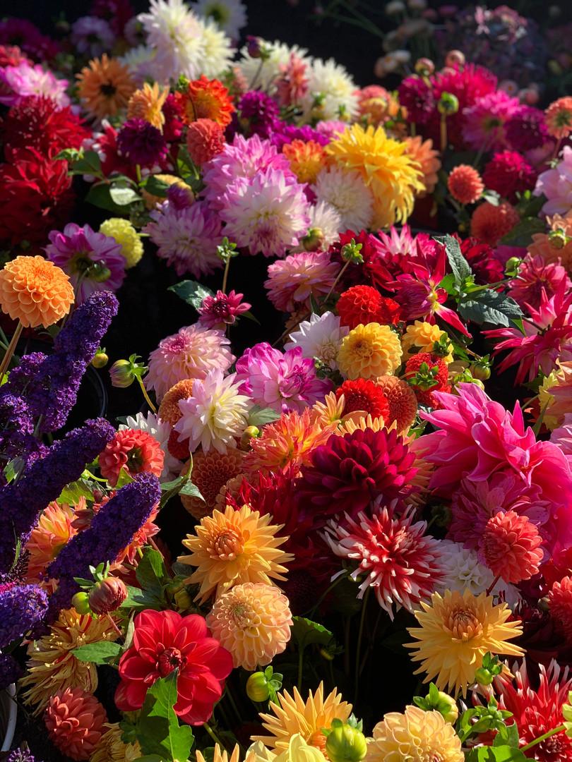 Seasonal Dahlias