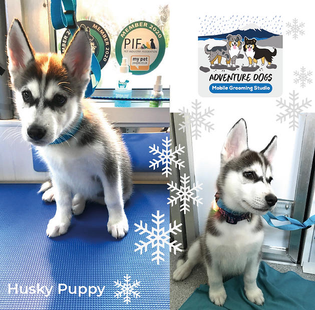 husky_puppy_adventure_dogs_grooming.png