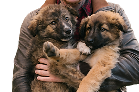 gsd4%20puppies_edited.png