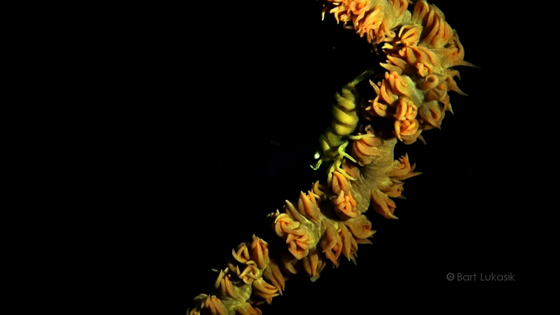 Black whip coral shrimp