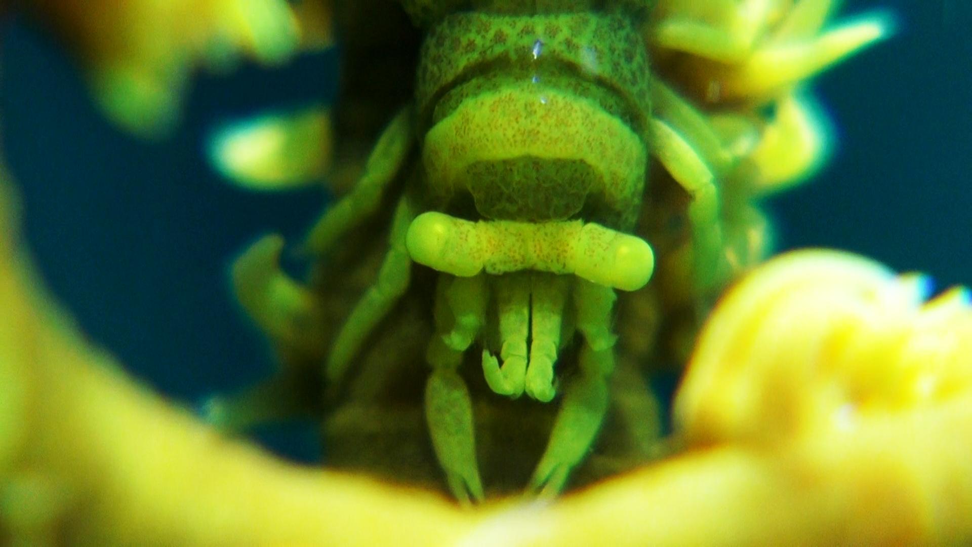 Krewetka na koralowcu