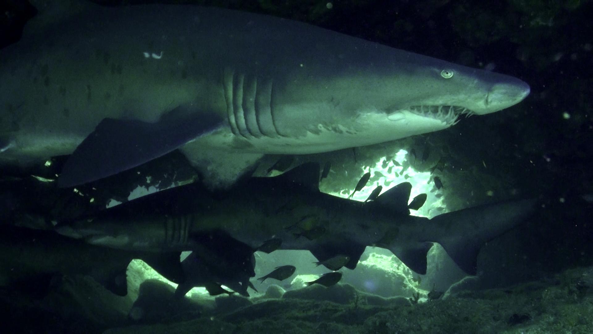 rekiny - tawrosze piaskowe