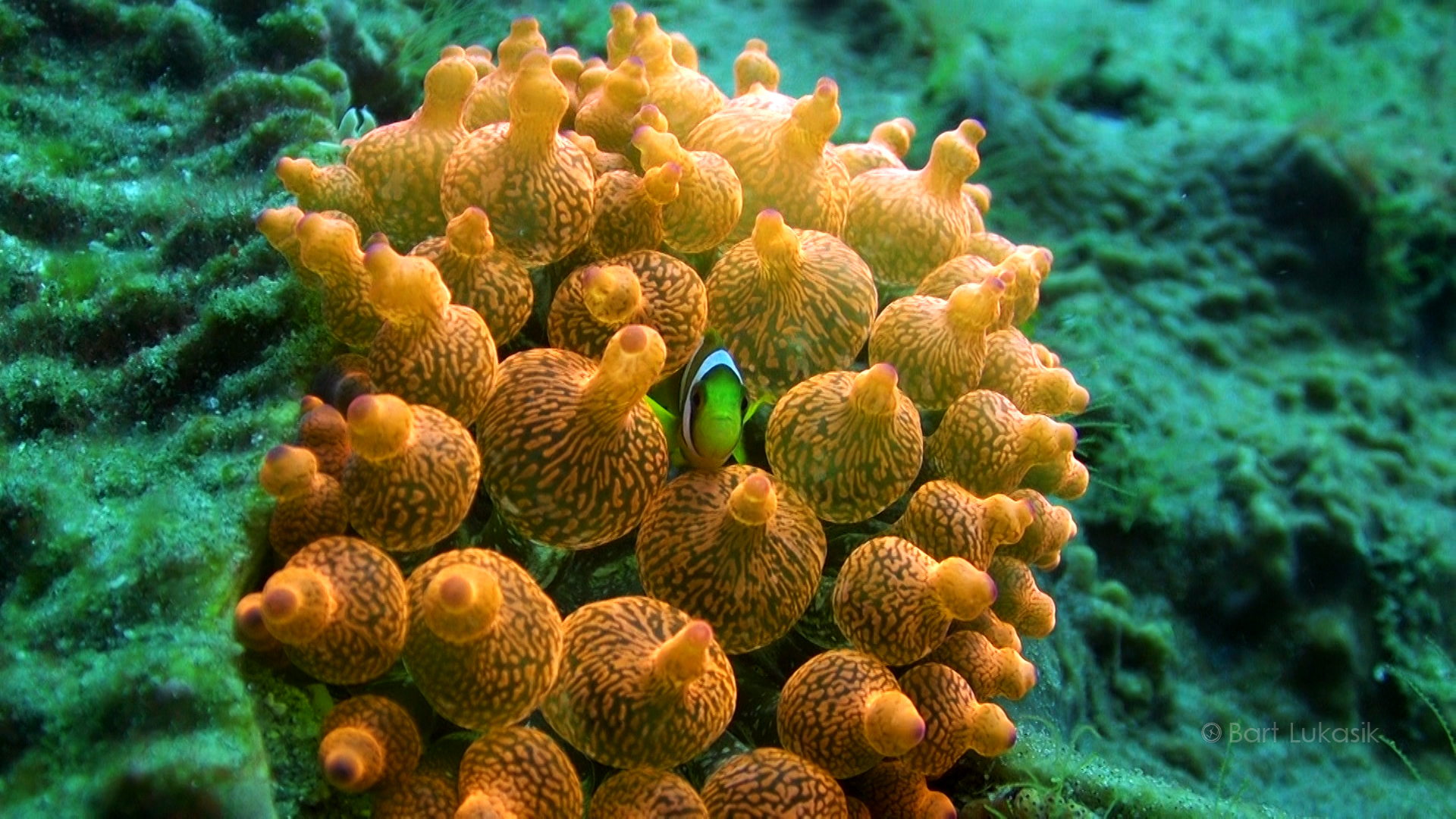 Bubble anemone with a clown fish