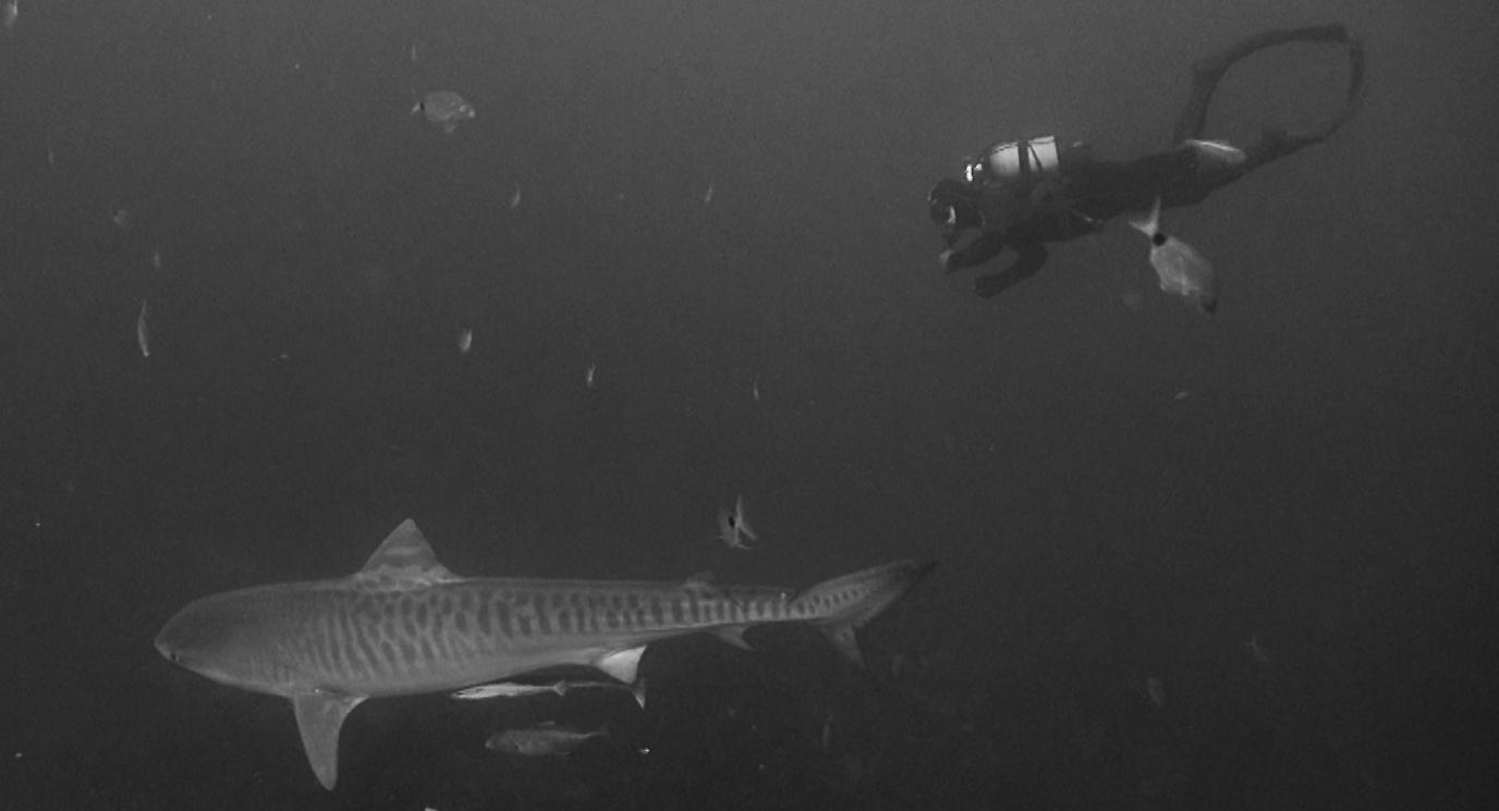 Погруженя с тигровыми акулами