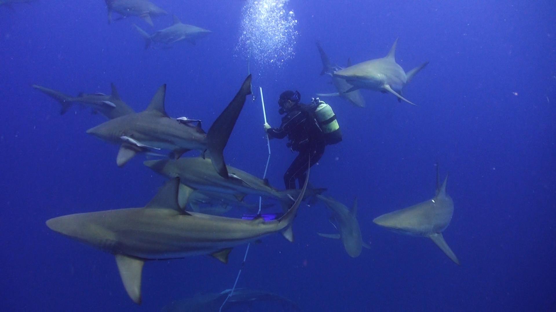 rekiny na nęconym nurkowaniu