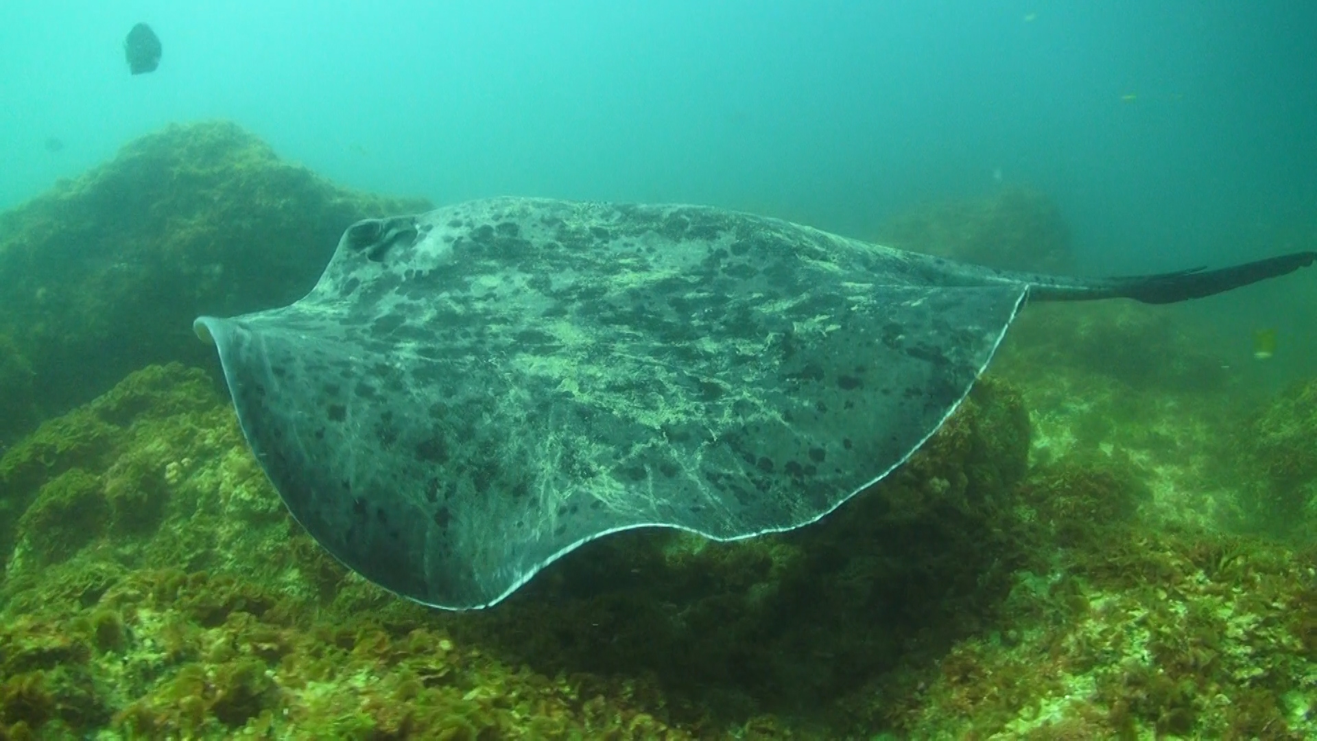 Round Ribbontail Ray