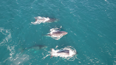 Humpback Migration Gnaraloo 2020.mp4