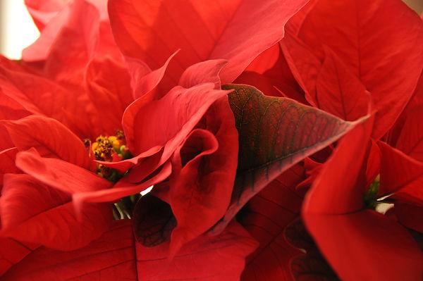 Poinsettia 001.jpg