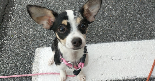 Rin the Chihuahua