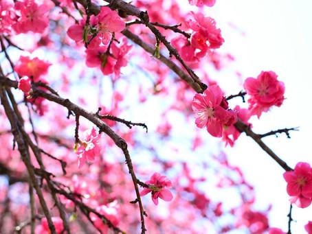 「そうだ、春だし花桃の里を歩こう。」信州武石の花桃特集
