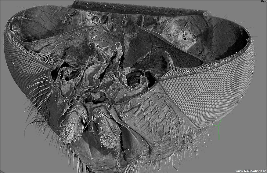 3D CT Fly's head.png