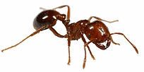 Fire Ant Treatment