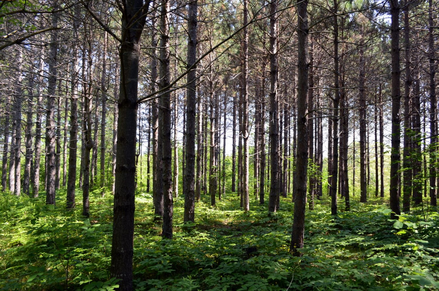 Pine Forest2