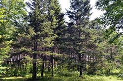 Pine Forest Trail2