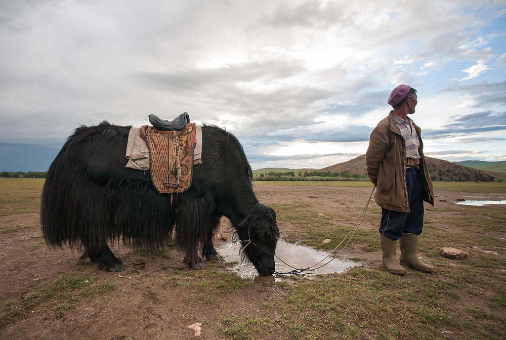 Mongolian Yak, photo credit to Dave Sear @davsear