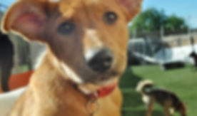 puppy dog foster homes milpitas