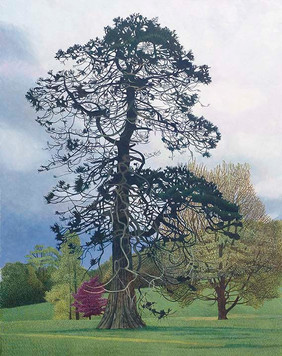 Annie Ovenden - Fir at Delamore. Oil on