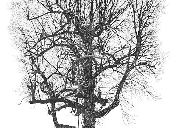 Beech Tree in Priory Road