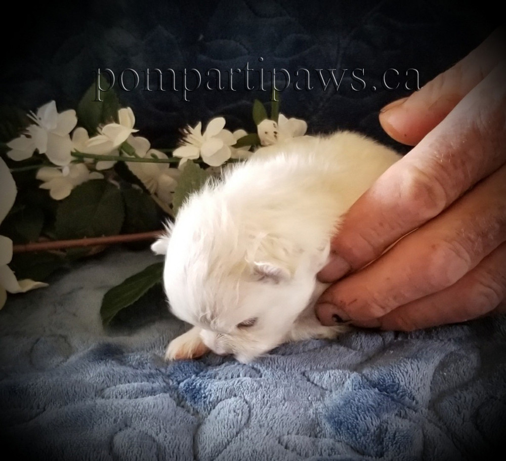 White/Champagne Baby Pom boy at 17 days old! Available