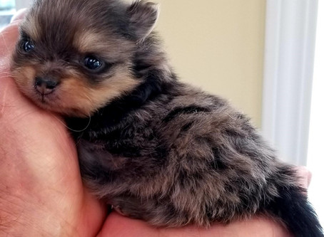 CKC Reg'd. Tri Coloured Merle Baby Girl Sold into a Loving home!