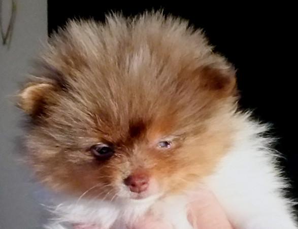 Chocolate Merle Parti Pomeranian!