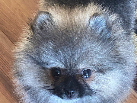 Wolf Sable Anyone? We occasionally have Wolf Sable Pom Puppies!