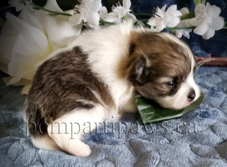 Sable Parti Pomeranian Baby Boy @ 17 days old!