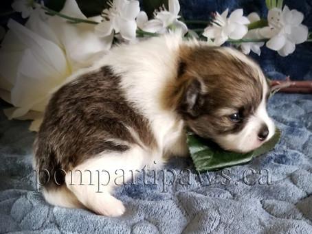 Sable Parti Pomeranian Baby Boy @ 17 days old!