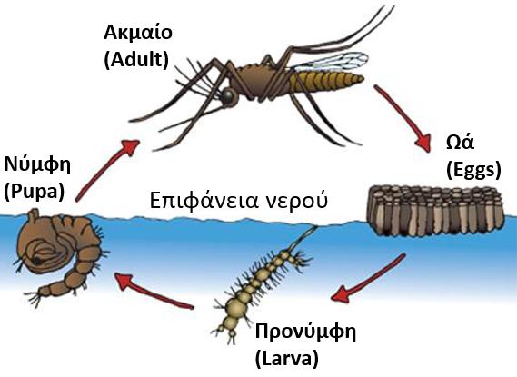 Δείτε τα στάδια της ανάπτυξης των κουνουπών