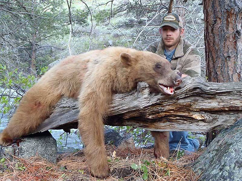 Color Phase Black Bear hunts in Wyoming