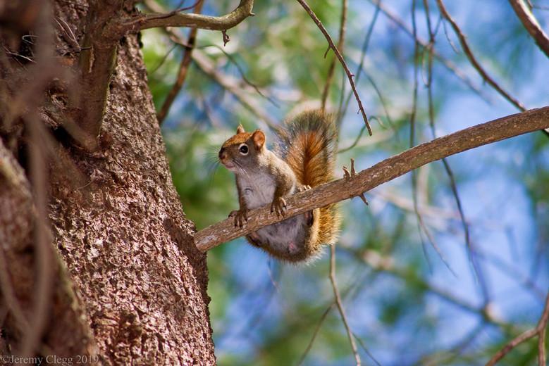 Red Squirrel Poses