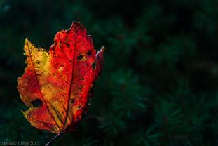 Flaming Leaf