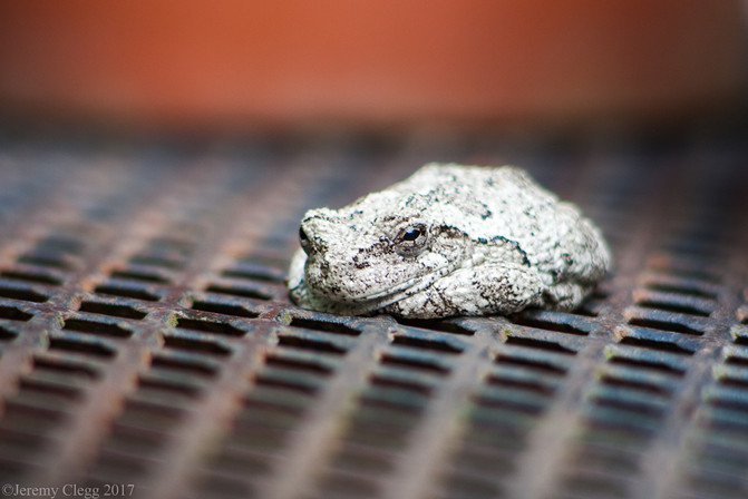 Stone Toad
