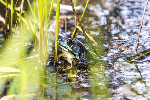 Iridescent Frog