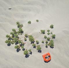 Wild seabeach amaranth