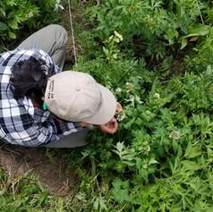 Vicky Delira (aka VGD) doing demography on Hydrophyllum fendleri (aka HYFE)