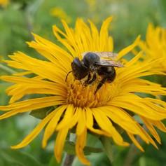 Osmia bucephala (bufflehead mason bee)