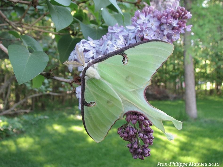 Papillon lune (Mâle)