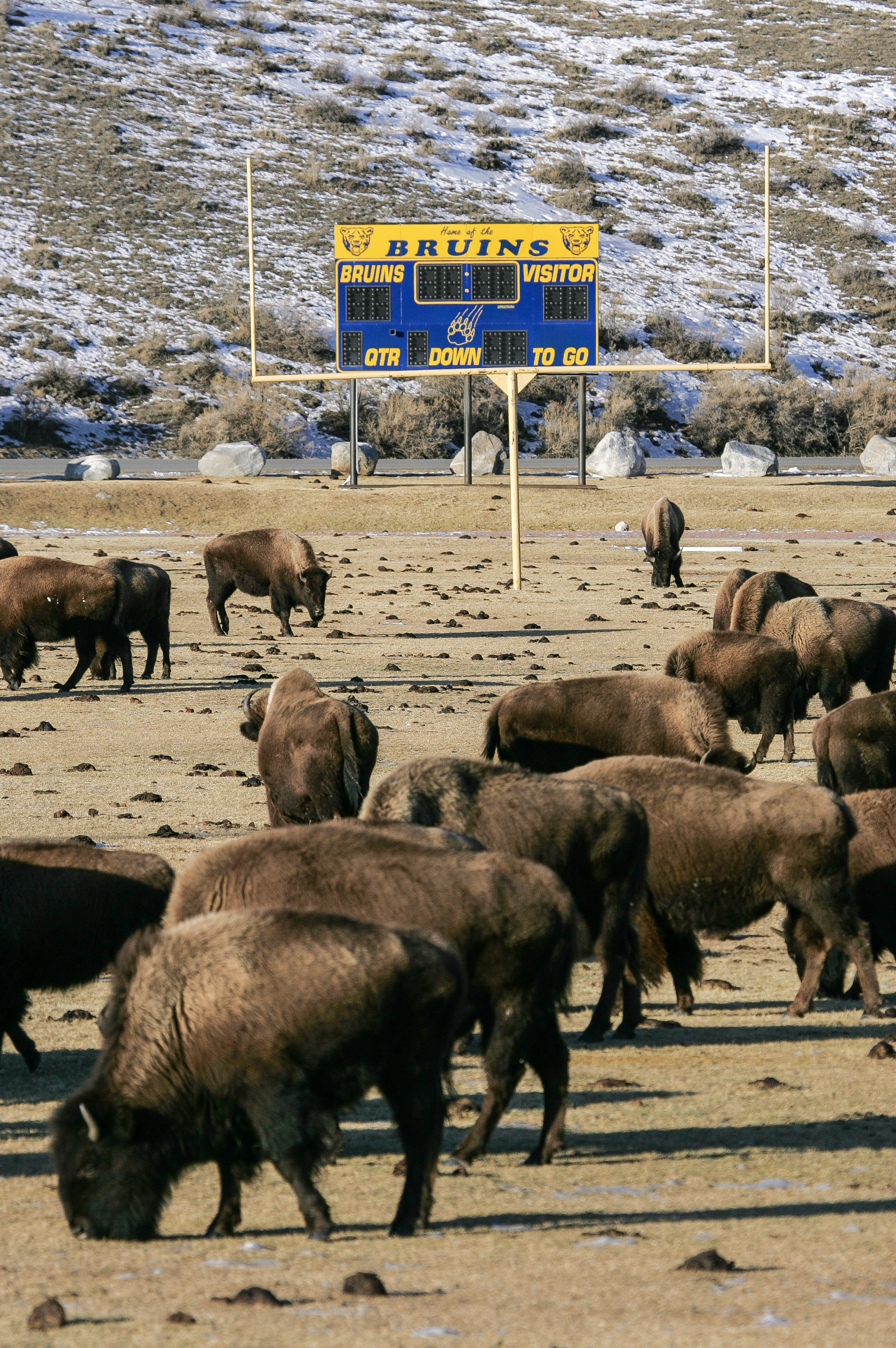 Bison on Athletic Field