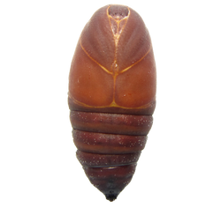 Chrysalide Mâle