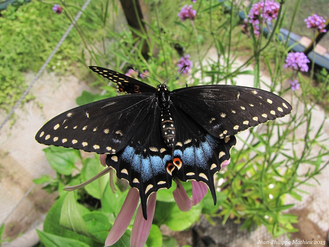 Papillon du céleri (Femelle)